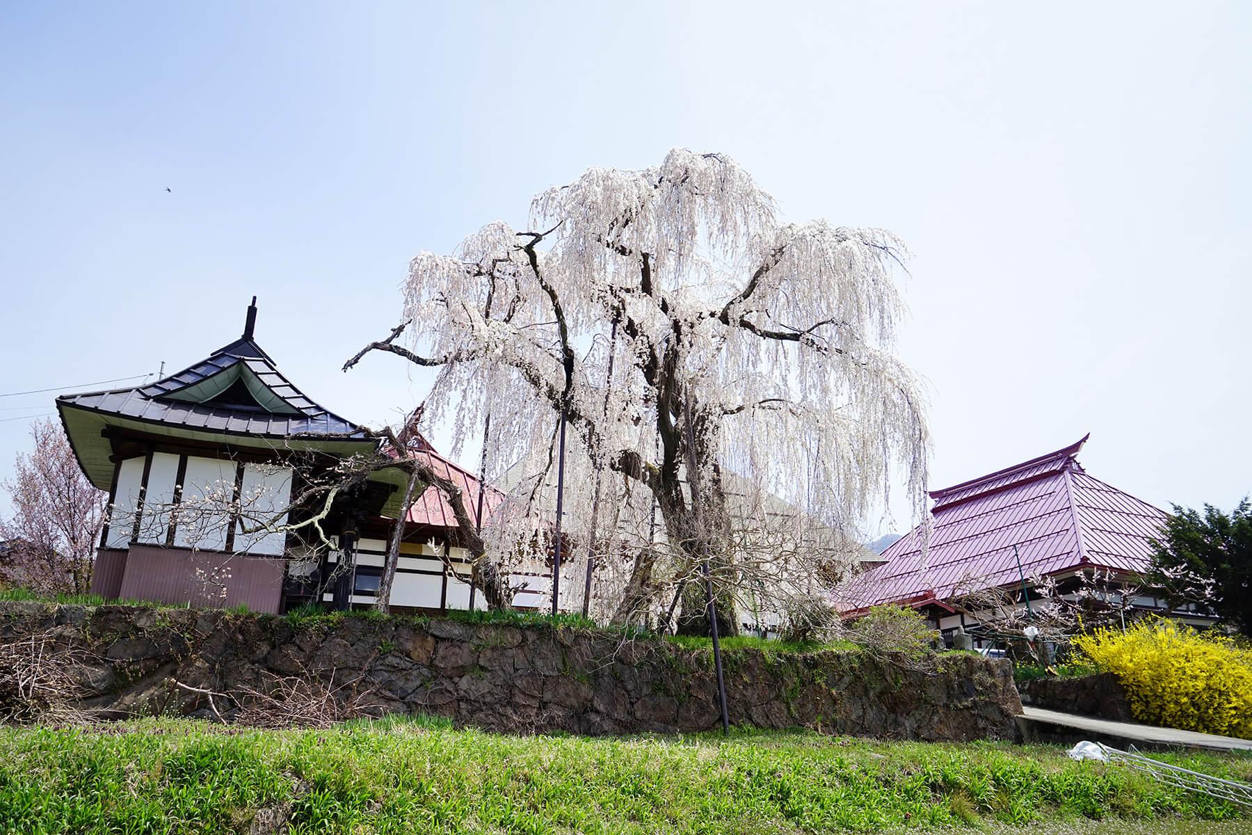 桜めぐり〈山ノ内町〉